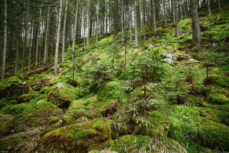 Mossy Pine forest on the mountain Stock Photo - 13820601