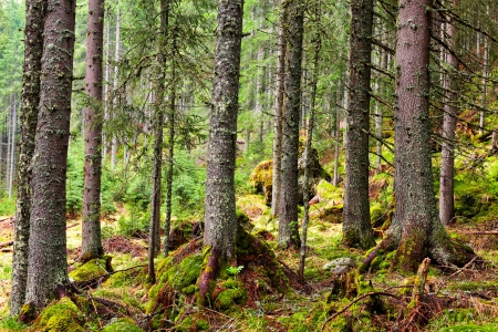 Mossy Pine forest on the mountain Stock Photo - 13820591