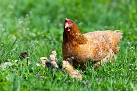 Closeup of a mother chicken with its baby chicks in grass Stock Photo - 13970362