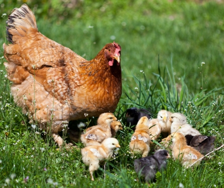 hens: Closeup of a mother chicken with its baby chicks in grass