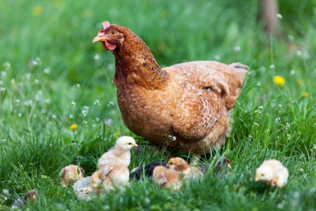 Closeup of a mother chicken with its baby chicks in grass
