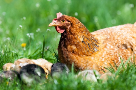 Closeup of a mother chicken with its baby chicks in grass Stock Photo - 13970539