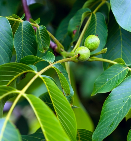 Closeup of unripe walnut on a branch among leaves Stock Photo - 15581121