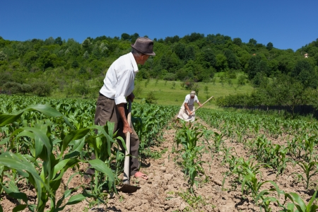 planted: Family of rural workers weeding on the corn field with the forest in the background
