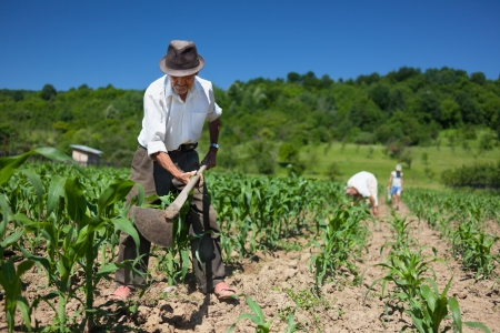 Family of rural workers weeding on the corn field with the forest in the background photo