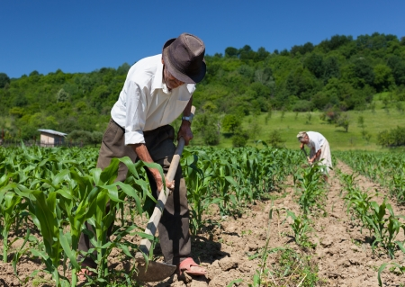ploegen: Familie van landarbeiders wieden op het maïsveld met het bos op de achtergrond Stockfoto