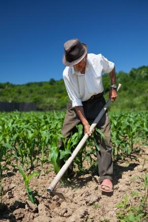 Vieil homme avec une houe désherbage dans le champ de maïs