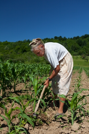 planted: Old rural woman tiller weeding in the corn field Stock Photo