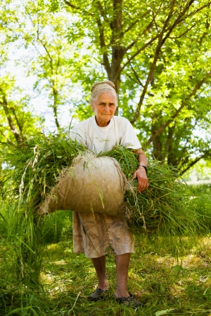 Old lady piling up fresh mowed grass as food for animals photo
