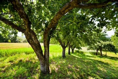 Apple trees with green unripe fruits in the summer Stock Photo - 15662910
