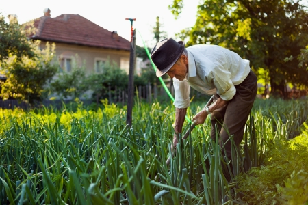 Old man with a hoe weeding in the garden photo