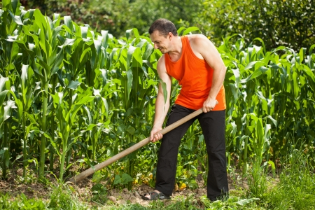 Young farmer with hoe weeding in a corn field photo