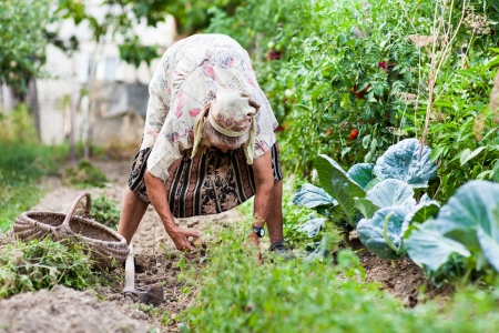 Old rural woman weeding in her garden with a hoe photo