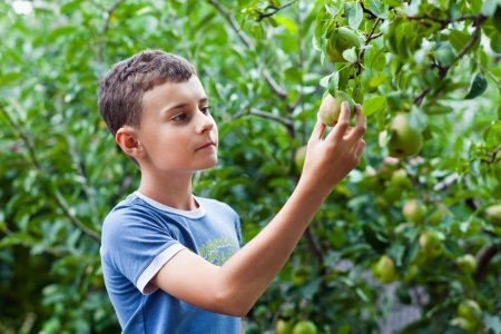 Young boy picking a pear from a tree in the garden photo