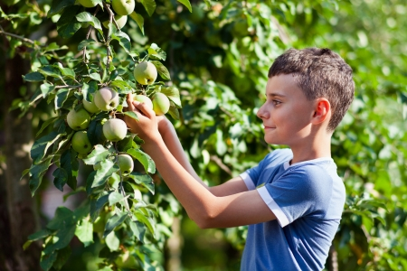 Young boy picking apples from a tree in a garden photo
