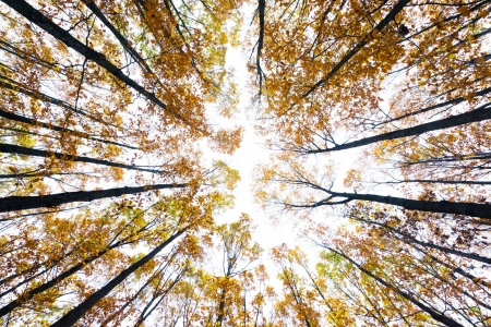 Colorful canopy in an oak forest in the autumn Stock Photo - 16527246