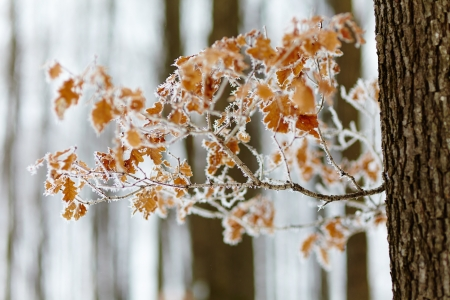 Closeup of an oak twig with frozen leaves Stock Photo - 17324642