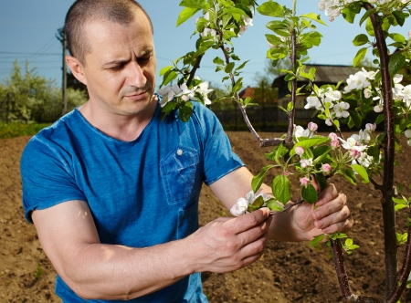 Young farmer checking the flowers on an apple tree Stock Photo - 20244921