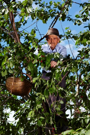 Senior farmer climbed up in a cherry tree picking cherries in a thatched basket photo