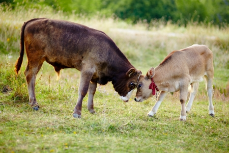 Two baby calves standing in the field and playing photo