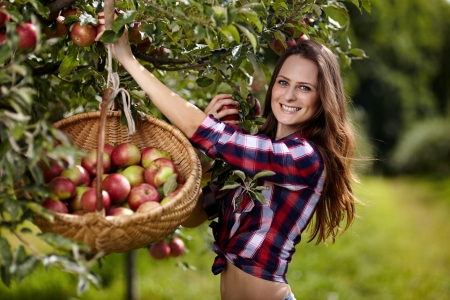 Young beautiful woman picking apples in the orchard photo
