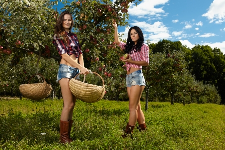 Young beautiful sexy women picking apples in the orchard photo