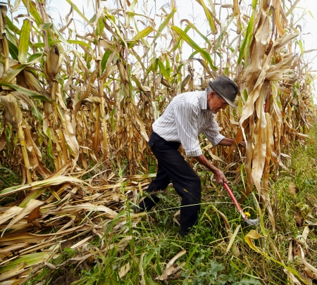 Old farmer cutting the corn with the reaping hook