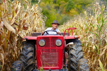 champ de mais: Ancien agriculteur conduisant le tracteur dans le champ de ma�s � la r�colte du ma�s Banque d'images