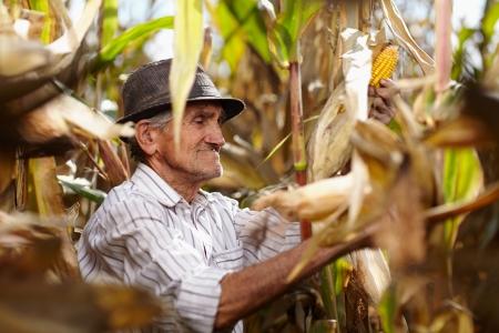 Closeup of old man at corn harvest photo