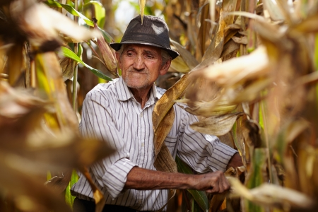 Closeup of old man at corn harvest Stock Photo