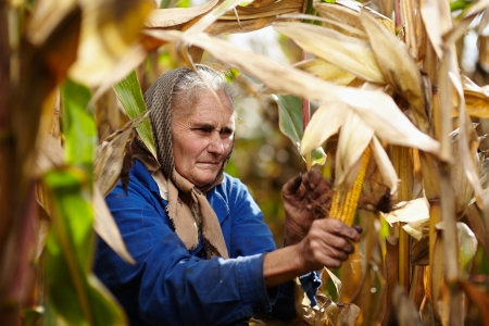 Closeup of old female farmer harvesting corn Stock Photo - 23423164