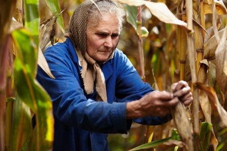 Closeup of old female farmer harvesting corn photo