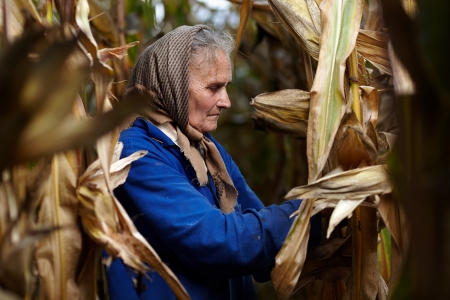 Closeup of old female farmer harvesting corn photo