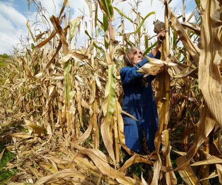 Portrait of old female farmer harvesting corn photo