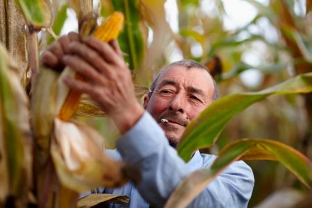 Closeup of farmer harvesting corn and smoking photo