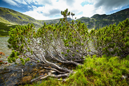 mugo: Landscape with dwarf pines grown by the lakeside in the mountains Stock Photo