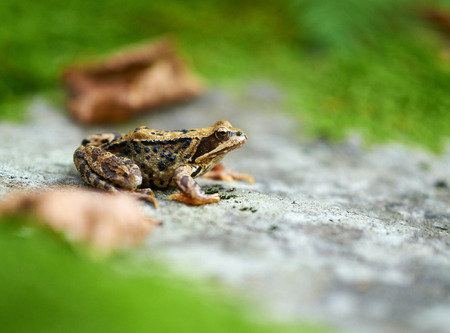Closeup of a brown frog on a rock with grass around, with plenty of copyspace photo