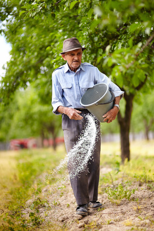 Senior farmer spreading fertilizer from a bucket into a plum trees orchard, spring work