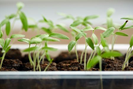 ball lump: Closeup of tomato seedlings in peat balls