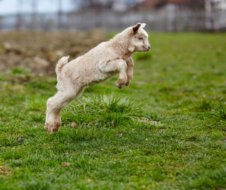 Adorable baby goat jumping around on a pasture