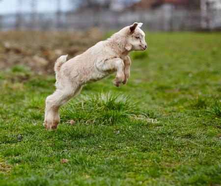 Schattige baby geit springen rond op een weiland
