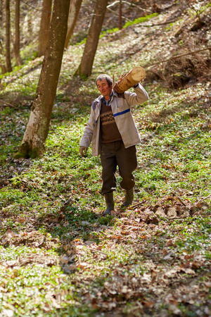 Strong senior woodcutter carrying a log on his shoulder photo