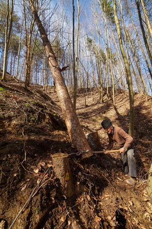 sawn: Old woodcutter trying to take down a sawn tree with an anchor winch and man power Stock Photo