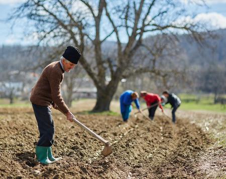 siembra: Gente tubérculos de patata de siembra en la tierra arada Foto de archivo