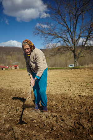 potato tree: Senior woman covering potatoes on a fresh plowed field; sowing potatoes