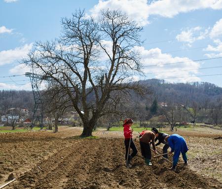 siembra: Gente tub�rculos de patata de siembra en la tierra arada Foto de archivo