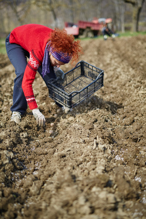 sowing: Woman sowing potato tubers into the plowed soil