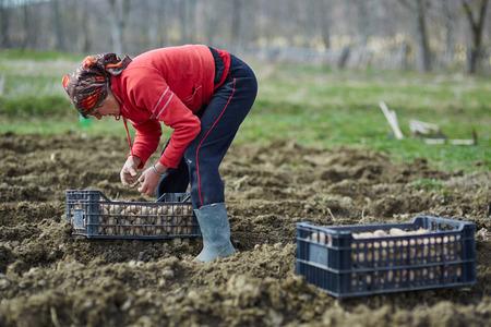 campesino: Mujer campesina cultivar patatas en un campo arado fresco