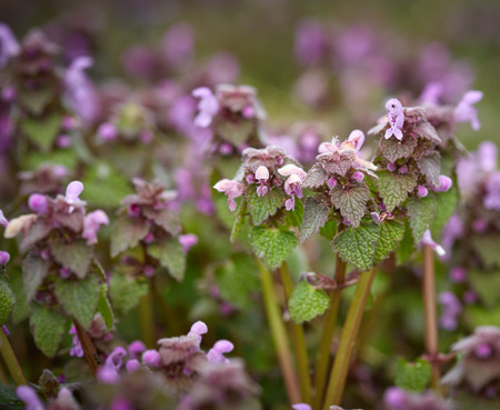 Closeup of a group of deadnettle flowers with selective focus photo