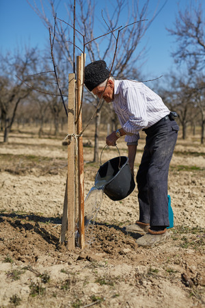 wetting: Senior farmer wetting the plum tree that he has just planted in an orchard on springtime